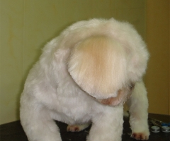 Стрижка ши-тцу плюшевый мишка фото