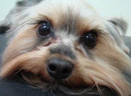 Стрижка собак – Йорк